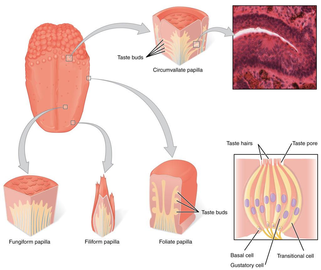 La disposizione delle diverse tipologie di papille gustative e il falso mito della mappa della lingua