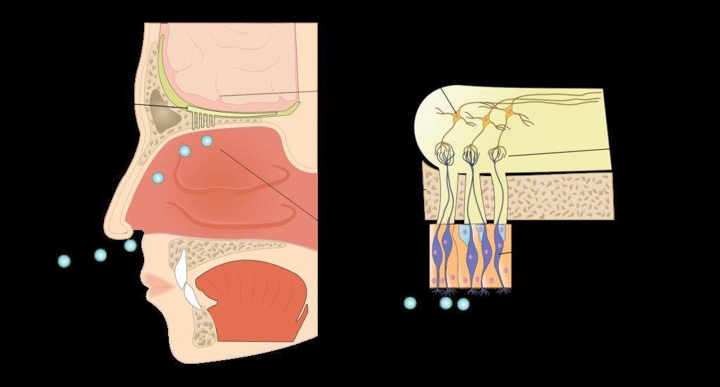 Come funziona il sistema olfattivo