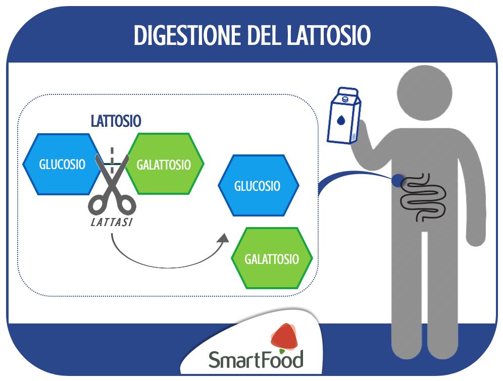 L'enzima lattasi scinde il lattosio in galattosio e glucosio, i quali possono essere assorbiti dalle cellule intestinali.