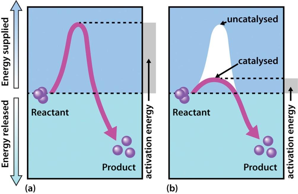 Gli enzimi catalizzano le reazioni riducendone l'energia di attivazione